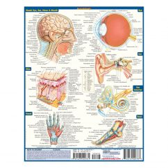 product-image-quickstudy-anatomy-laminated-study-guide-03